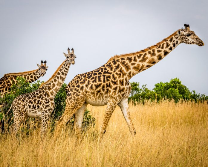 Conservationists are Using GPS Satellites to Save Giraffe Population Across Africa
